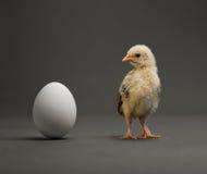 Polluelo y huevo fotos de archivo