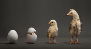 Polluelo y huevo Imagen de archivo libre de regalías