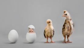 Polluelo y huevo Fotos de archivo libres de regalías