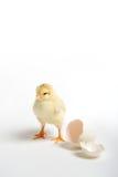 Polluelo y huevo agrietado Foto de archivo libre de regalías