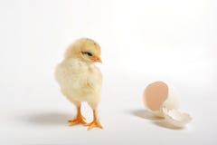 Polluelo y huevo agrietado imagen de archivo libre de regalías