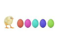 Polluelo y huevos Imagen de archivo libre de regalías