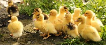 Polluelo y pato lindos amarillos Foto de archivo