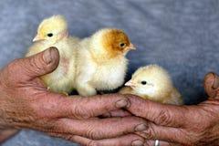 polluelos Imagen de archivo libre de regalías