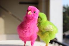 polluelos foto de archivo libre de regalías