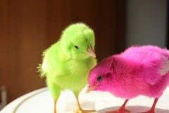 polluelos fotos de archivo libres de regalías