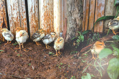 polluelos Imagen de archivo