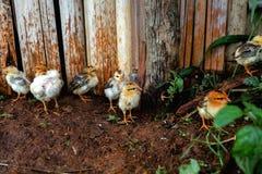 polluelos Imagenes de archivo