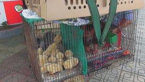 polluelos amarillos que se sientan en una jaula en una moto metrajes