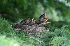 Polluelos americanos hambrientos del petirrojo Foto de archivo libre de regalías