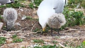 polluelos Anillo-cargados en cuenta de la gaviota con el padre metrajes