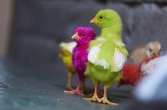 Polluelos coloreados Imagen de archivo