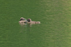 Polluelos comunes del bebé del immer del Gavia del bribón solamente en el lago Imágenes de archivo libres de regalías