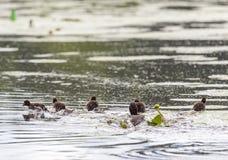 Polluelos copetudos del pato en el río de Pehorka del agua Foto de archivo libre de regalías