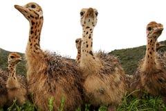 Polluelos curiosos de la avestruz Fotografía de archivo