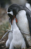 Polluelos de alimentación BRITÁNICOS de Falkland Islands Gentoo Penguin Foto de archivo libre de regalías