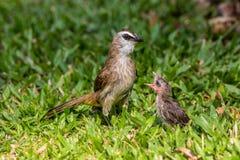 Polluelos de alimentación del Bulbul Fotografía de archivo libre de regalías