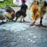 Polluelos de la alimentación Imagenes de archivo