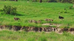 Polluelos de la avestruz con los padres metrajes