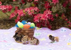 Polluelos de la cesta y del bebé de Pascua con las flores Imagenes de archivo