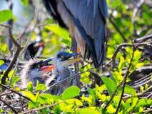 Polluelos de la garza de gran azul en jerarquía Foto de archivo libre de regalías