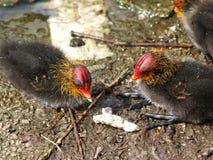 Polluelos de la polla de agua Fotos de archivo