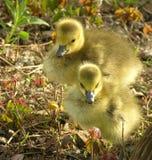Polluelos de los gansos fotografía de archivo