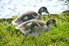 Polluelos de los gansos de Canadá por el río Támesis Foto de archivo libre de regalías