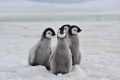 Polluelos de los pingüinos de emperador fotografía de archivo