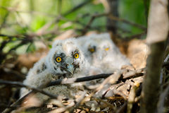 Polluelos de orejas alargadas de Owl Little en la jerarquía imagen de archivo