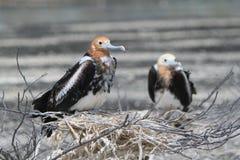 Polluelos del adolescente del pájaro de fragata Fotografía de archivo