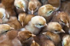 Polluelos del bebé imágenes de archivo libres de regalías