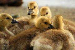 Polluelos del bebé imagenes de archivo