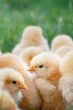 Polluelos del bebé Fotos de archivo