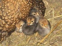 Polluelos del bebé Foto de archivo libre de regalías
