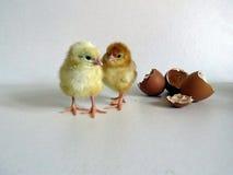 Polluelos del bebé Imagen de archivo libre de regalías