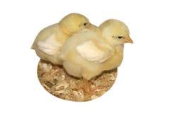 Polluelos del bebé fotografía de archivo
