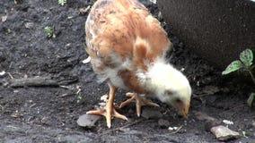 Polluelos del bebé, animales del campo almacen de metraje de vídeo