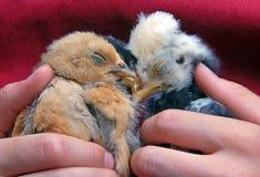 Polluelos del bebé el dormir Fotografía de archivo