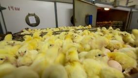 Polluelos del bebé en criadero de la granja almacen de metraje de vídeo