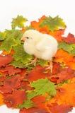 Polluelos del bebé en hojas de la caída Foto de archivo libre de regalías