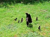 Polluelos del bebé y gallina de la madre Fotos de archivo libres de regalías