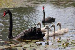 Polluelos del blanco de los cisnes negros Fotografía de archivo