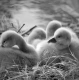 Polluelos del cisne Imagenes de archivo