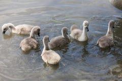 Polluelos del cisne Foto de archivo libre de regalías