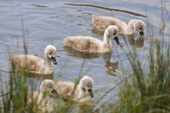 Polluelos del cisne Fotos de archivo libres de regalías