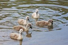 Polluelos del cisne Fotografía de archivo