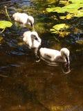 Polluelos del cisne Fotografía de archivo libre de regalías