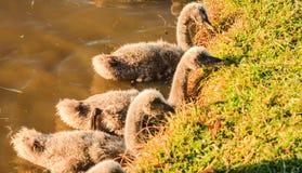 Polluelos del cisne Fotos de archivo