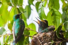 Polluelos del colibrí que esperan su comida del ` s de la madre Fotos de archivo libres de regalías
